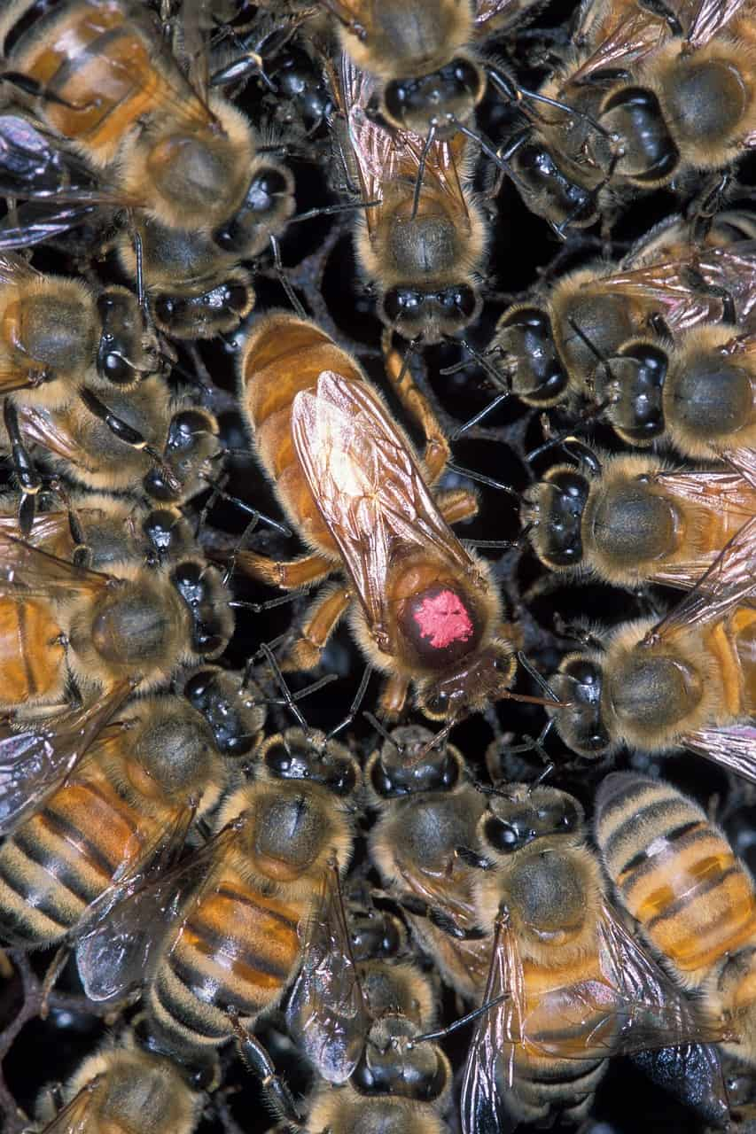 African honeybees around the queen